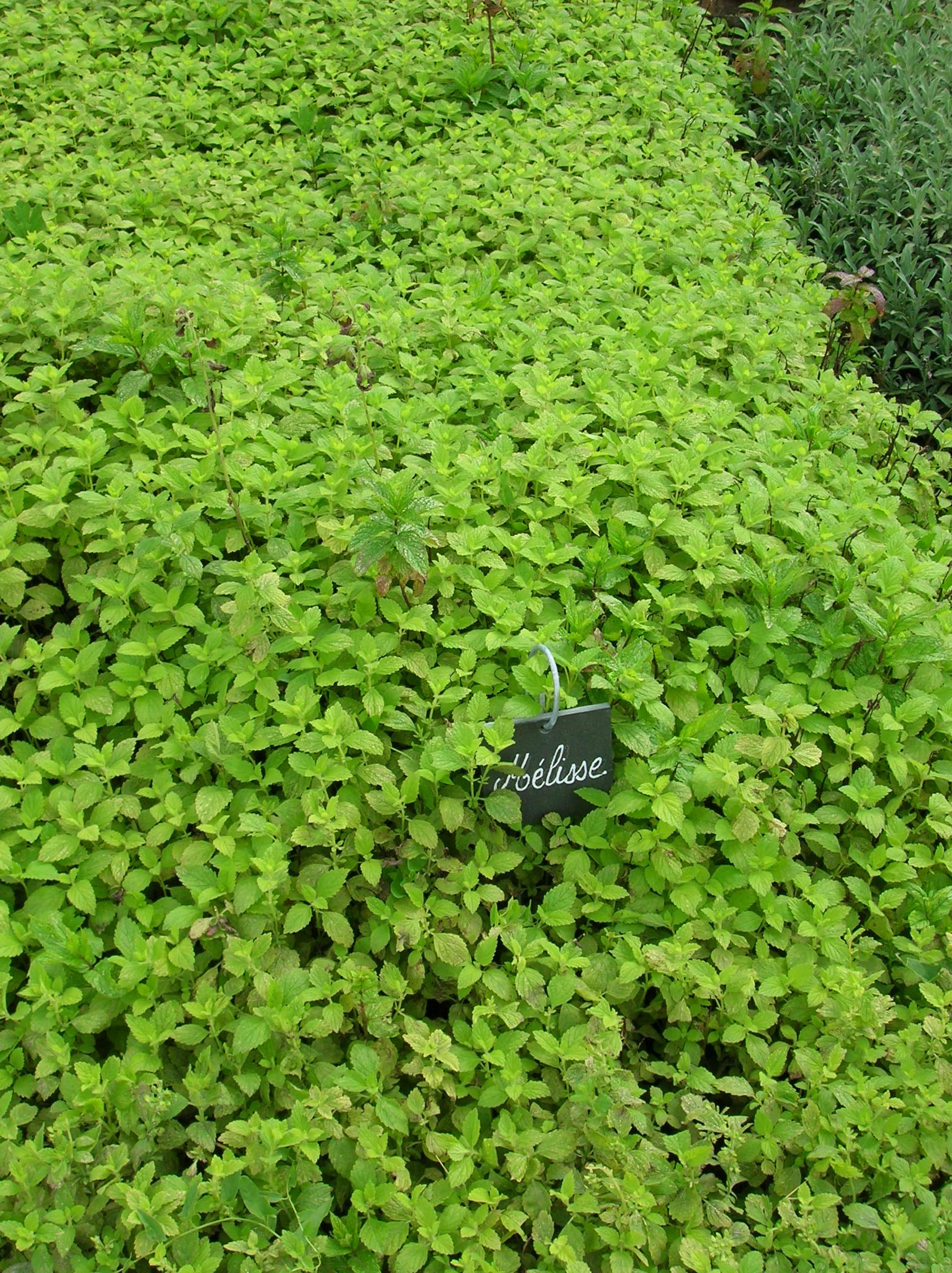 1000 images about lemon balm on pinterest lemon lemon for Planting lemon seeds for smell