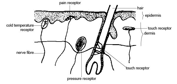 Image result for receptors for touch pressure and pain
