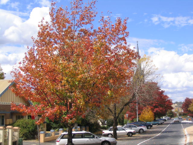 Autumn trees in Byng St, Orange NSW