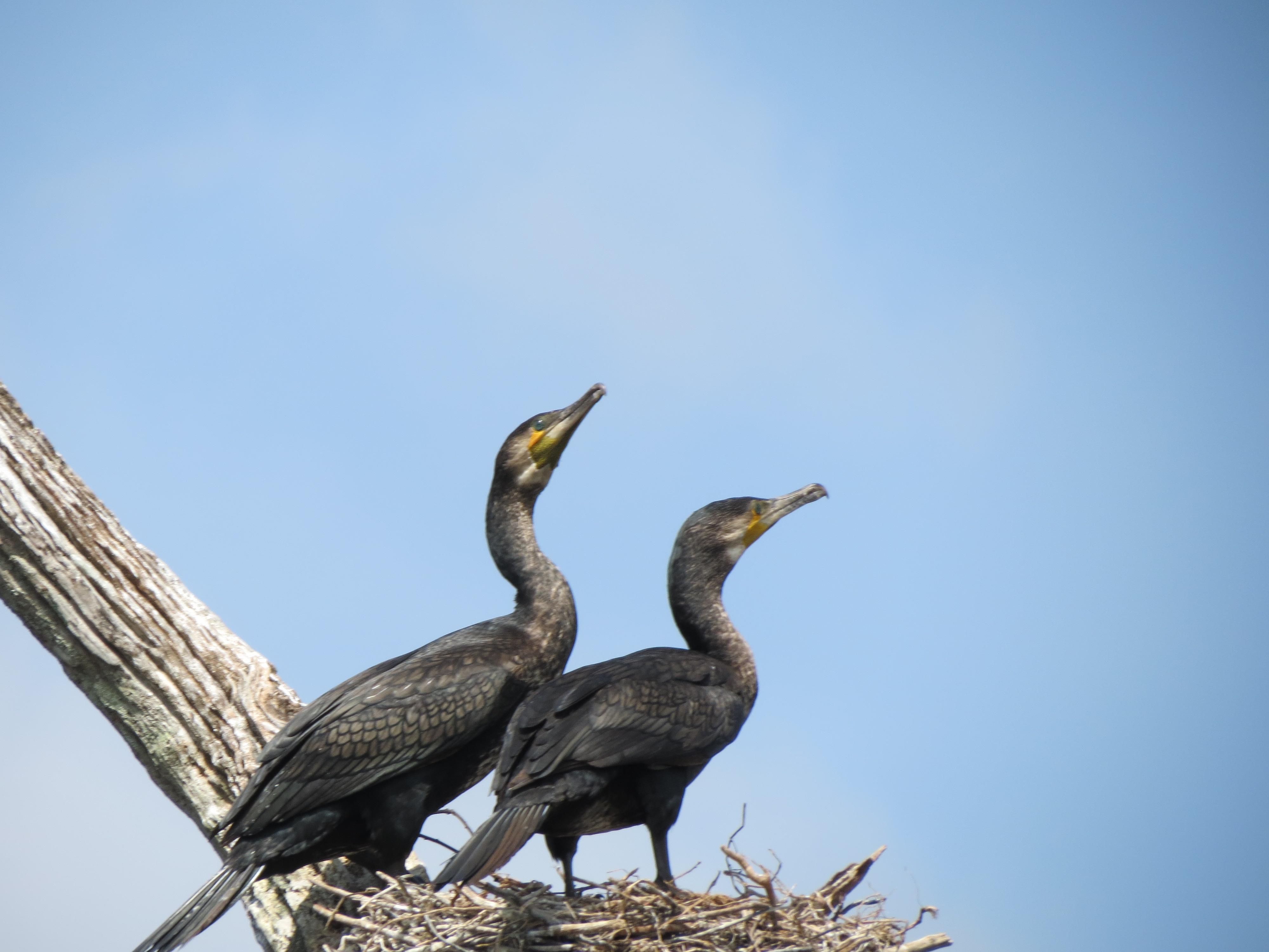 file birds chirping jpg wikimedia commons