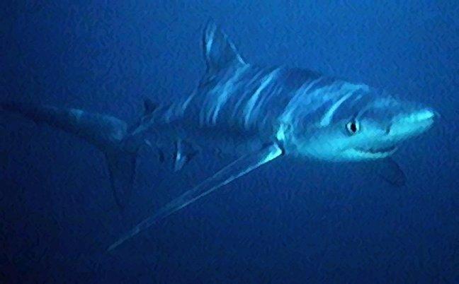 .::Tiburón Azul::. Blue_shark