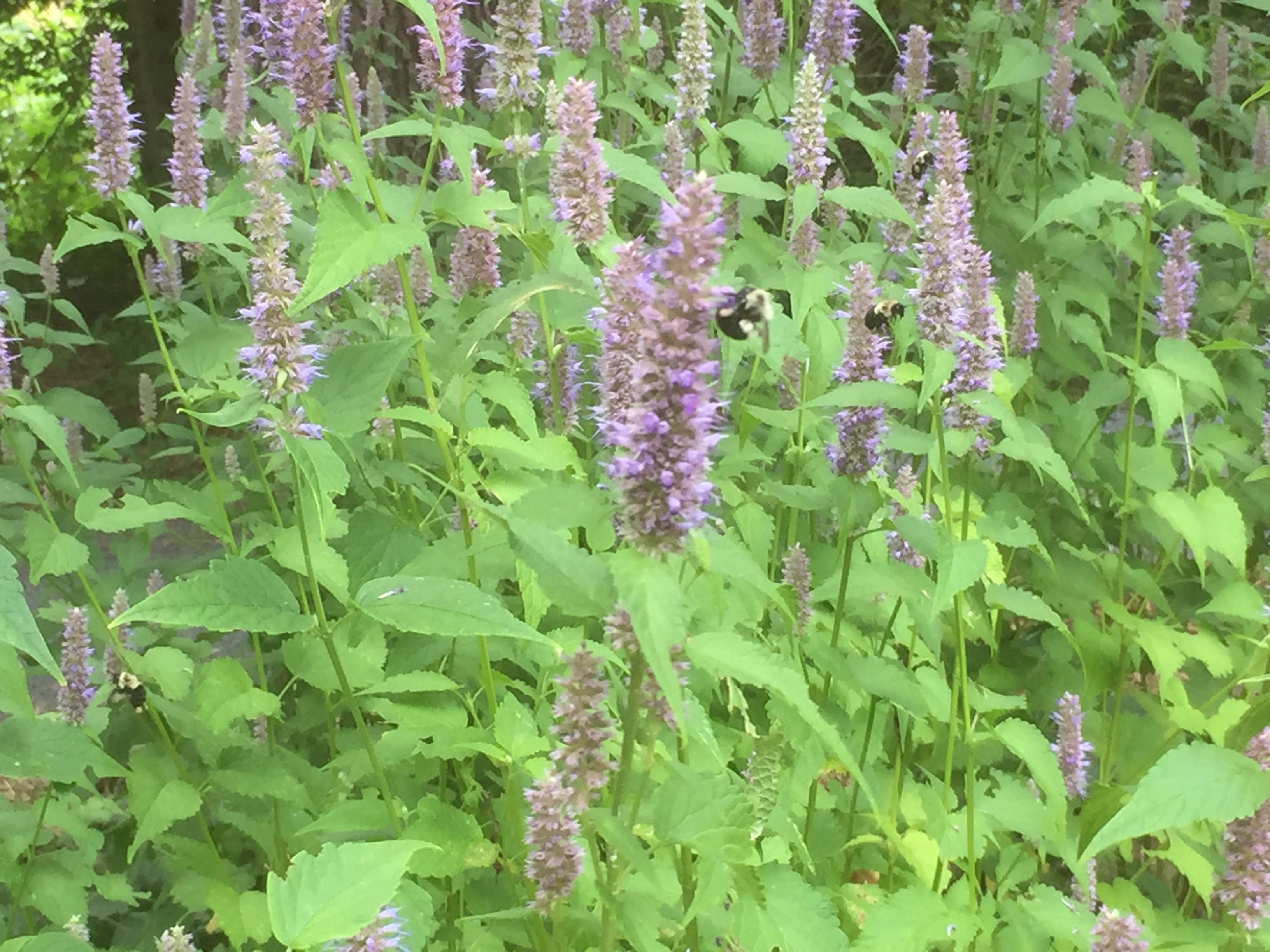 Summer Flowers-Fragrant Giant Hyssop