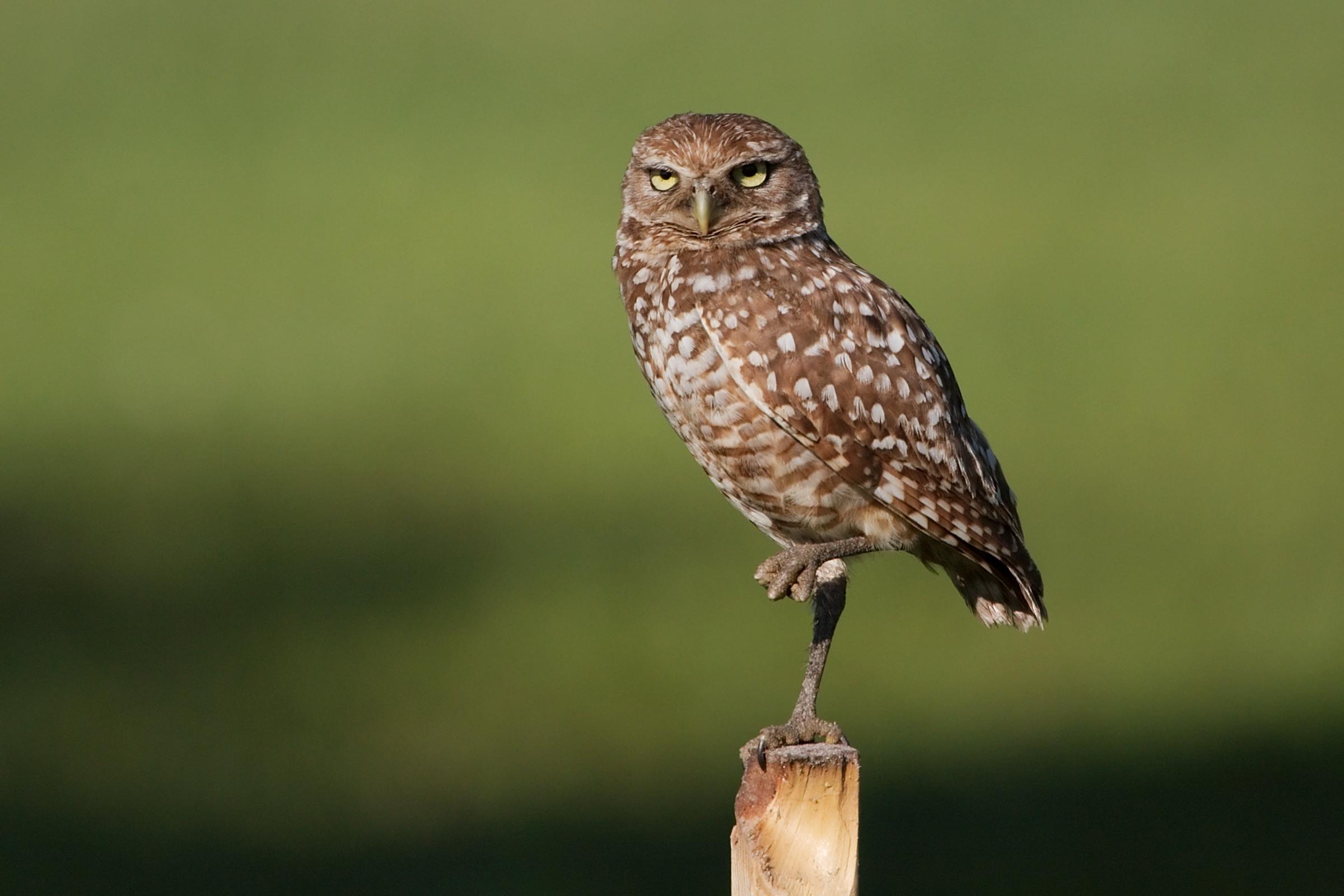 File Burrowing Owl 4325 Jpg Wikimedia Commons
