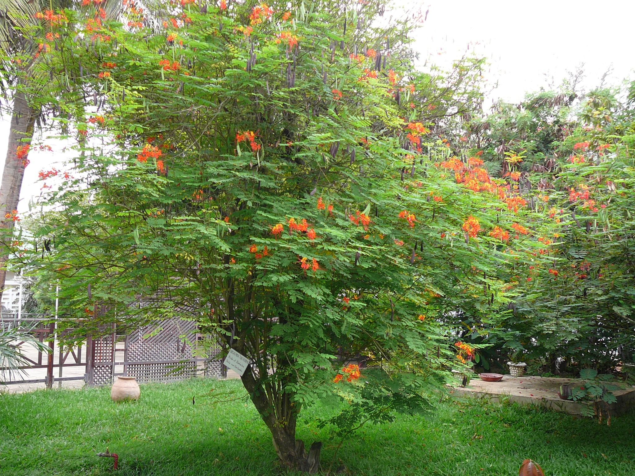 File caesalpinia pulcherrima wikimedia commons for Arboles enanos para jardin