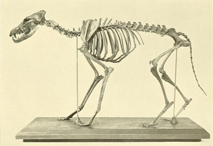 http://upload.wikimedia.org/wikipedia/commons/7/7f/Canis_latrans_orcutti.png