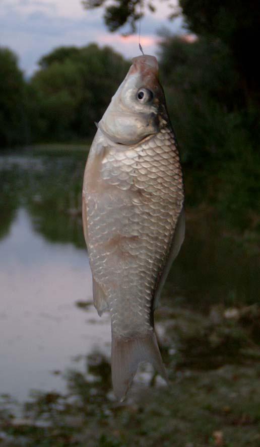 Pesce rosso molesto e ingordo for Quanto vive un pesce rosso