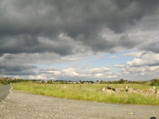 File:Cattle in field near Baljaffray - geograph.org.uk - 502044.jpg