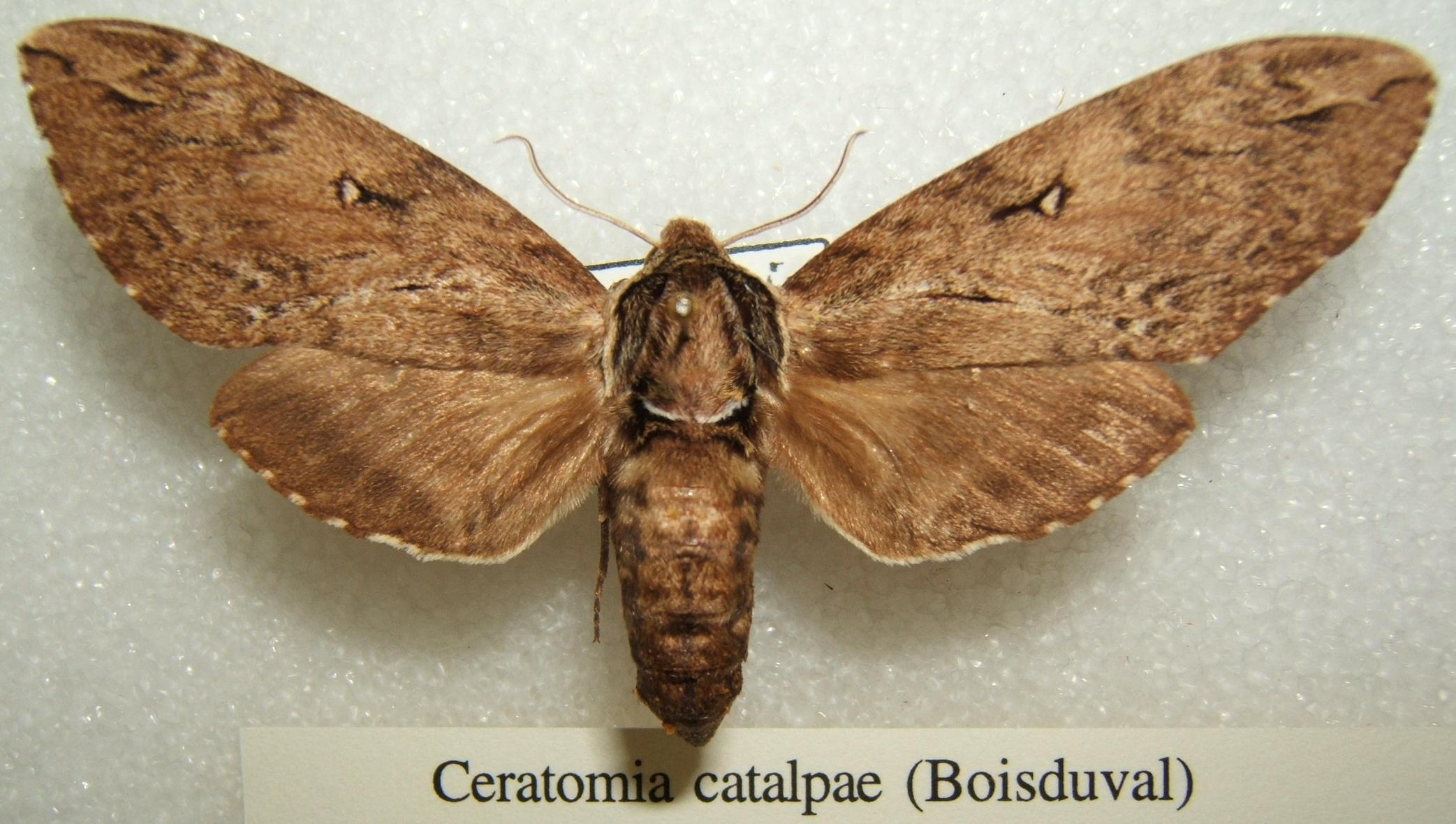 Image result for catalpa worm