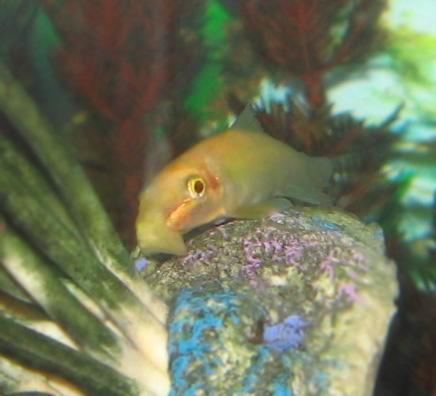 Golden Chinese Algae Eater | File Chinese Algae Eater 6 Jpg Wikimedia Commons