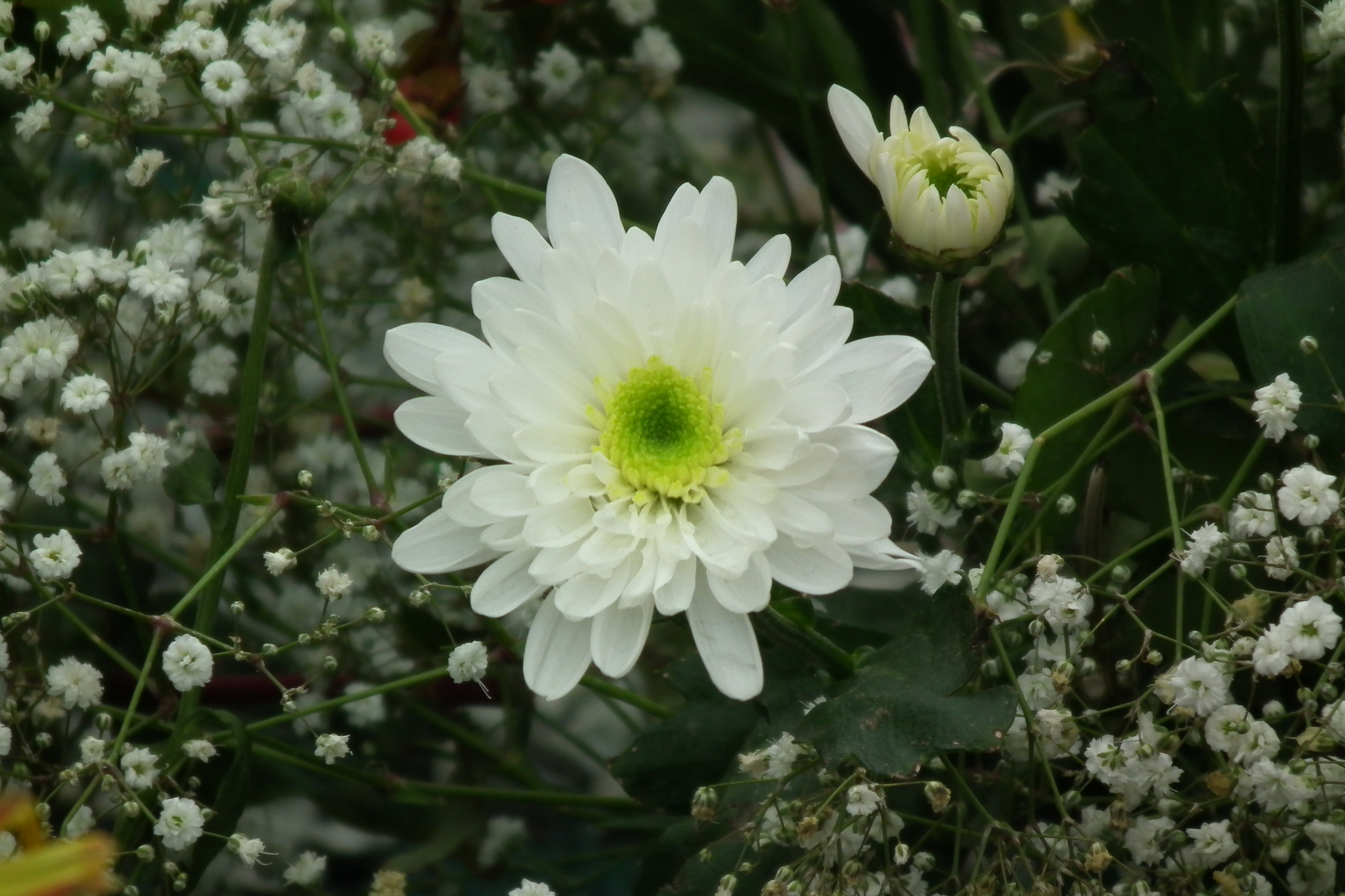 Filechrysanthemum White At Lalbagh7293g Wikimedia Commons