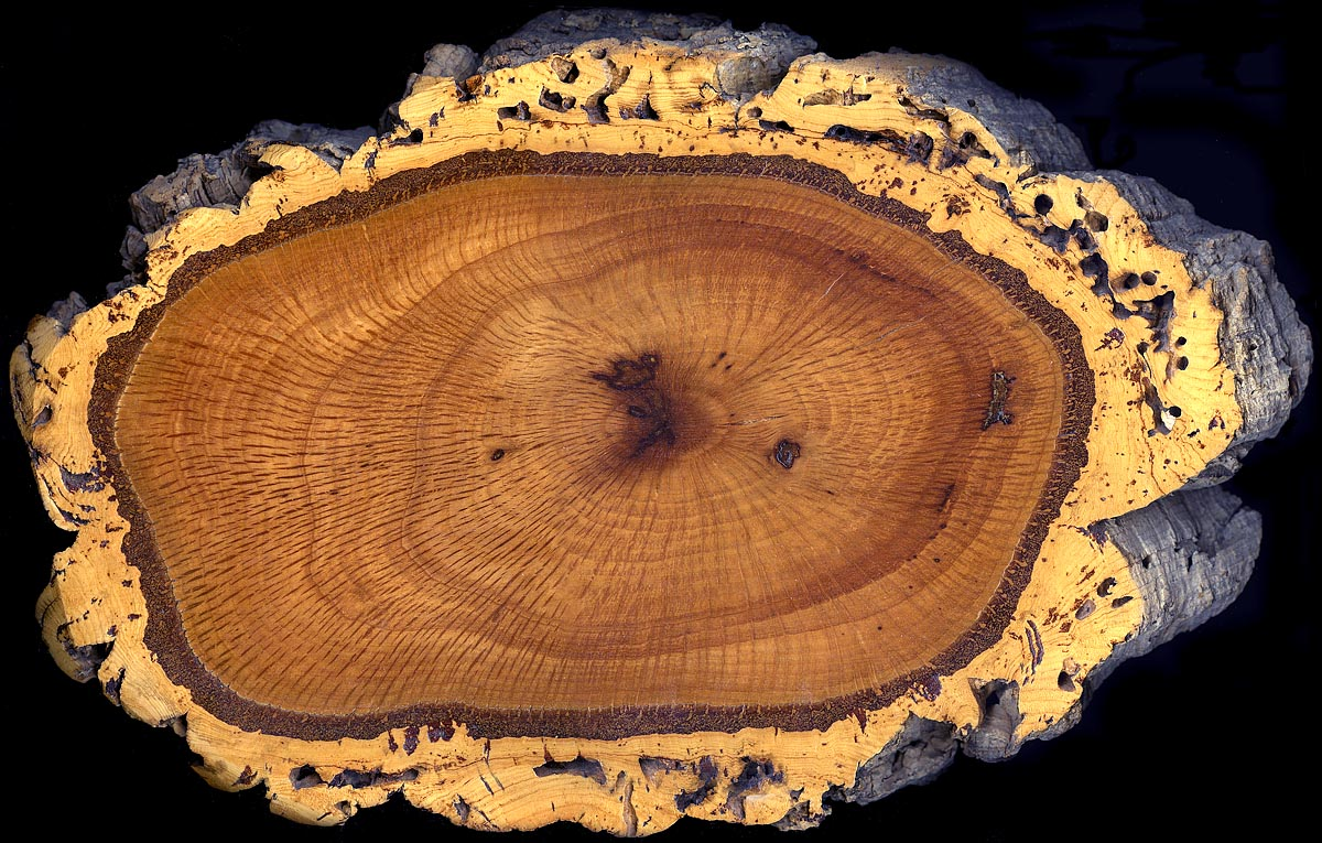 http://upload.wikimedia.org/wikipedia/commons/7/7f/Cork_oak_trunk_section.jpg