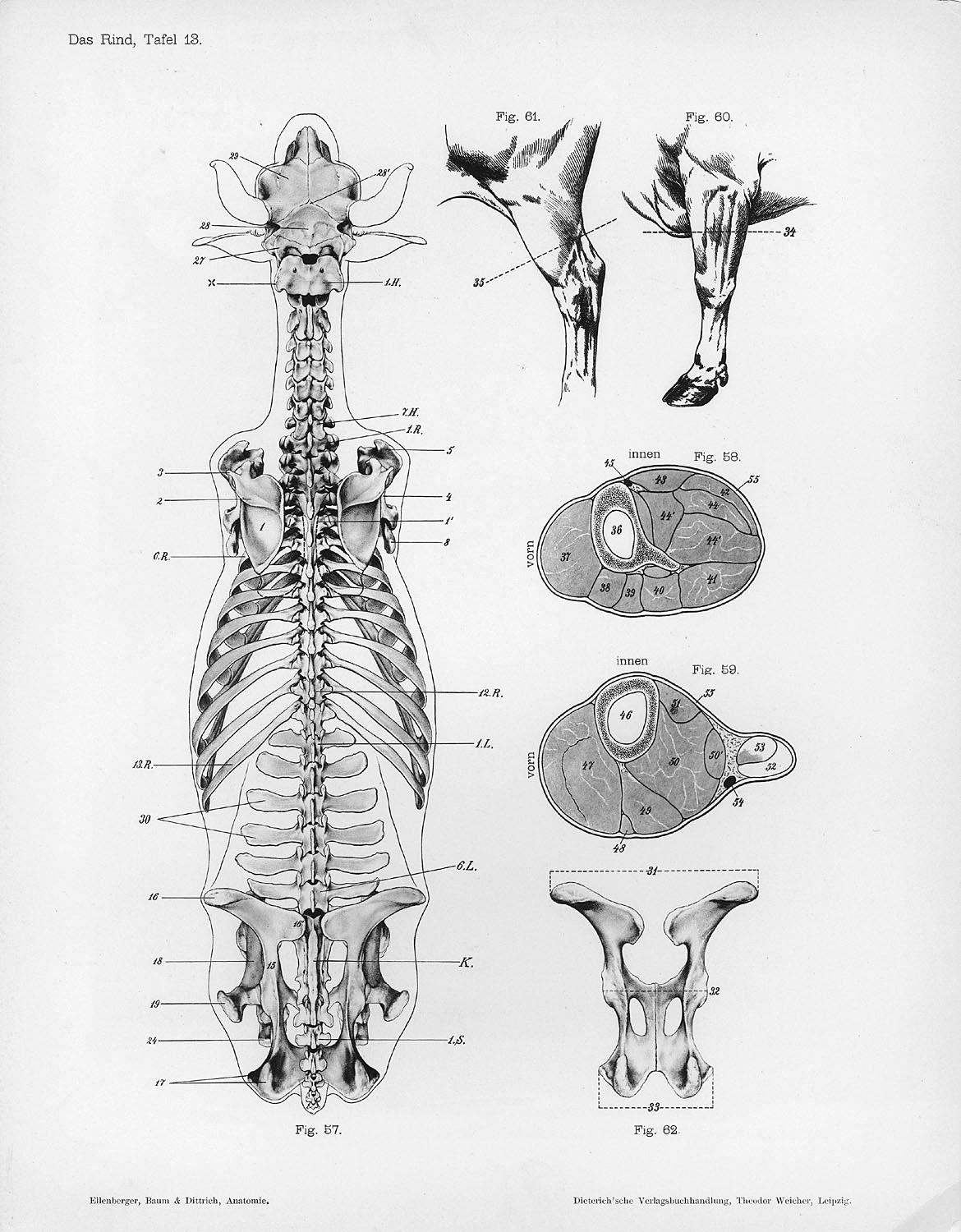 File:Cow anatomy dorsal skeleton.jpg - Wikimedia Commons