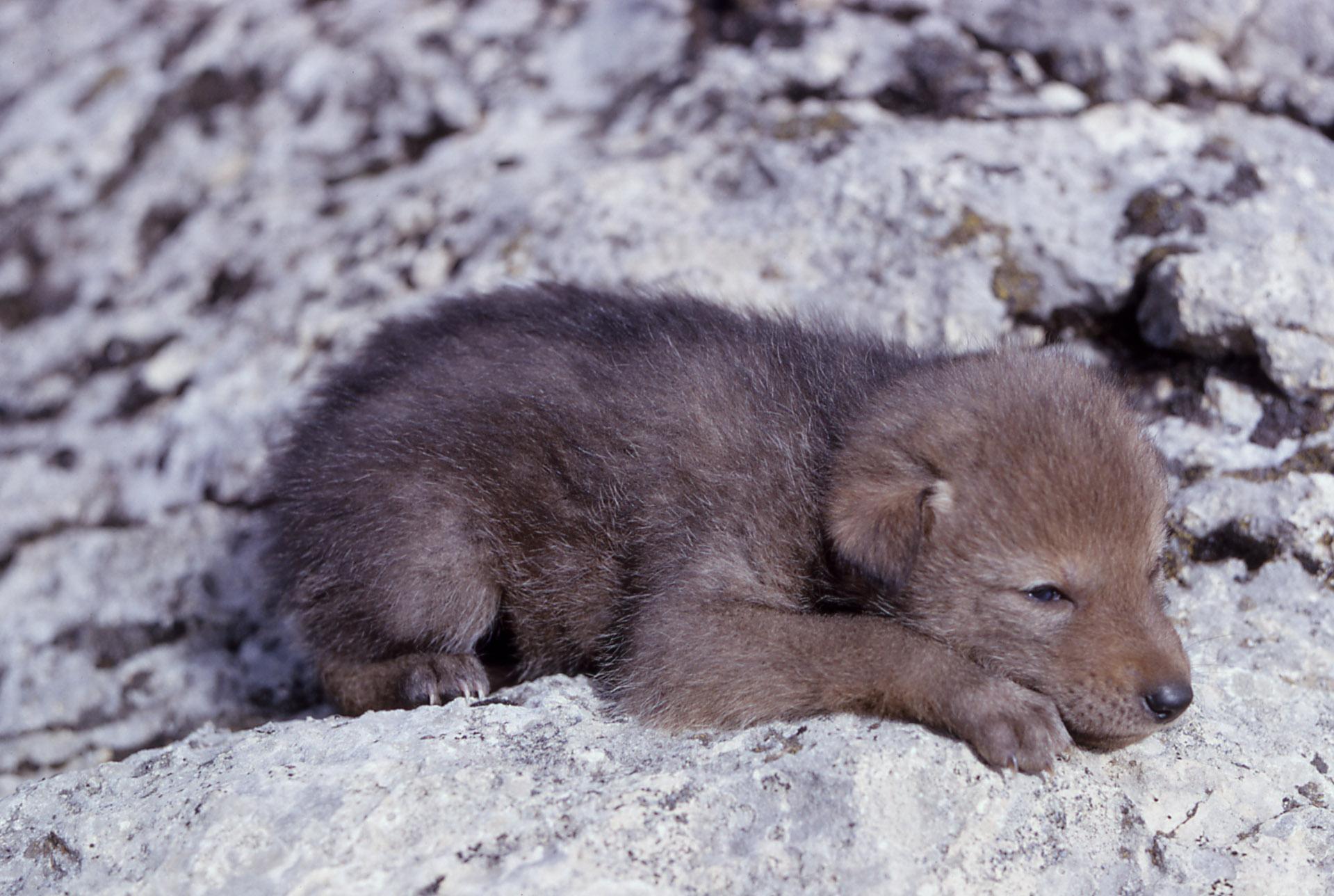 Coyote  Define Coyote at Dictionarycom