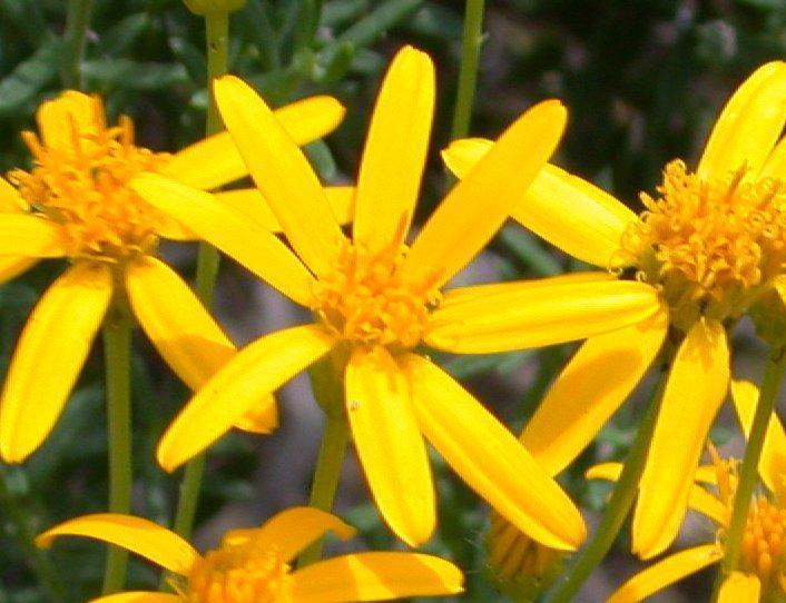 List of Asteraceae genera - Wikipedia