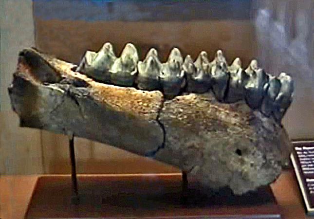 File:Deinotheriidae - Prodeinotherium bavaricum.jpg ...