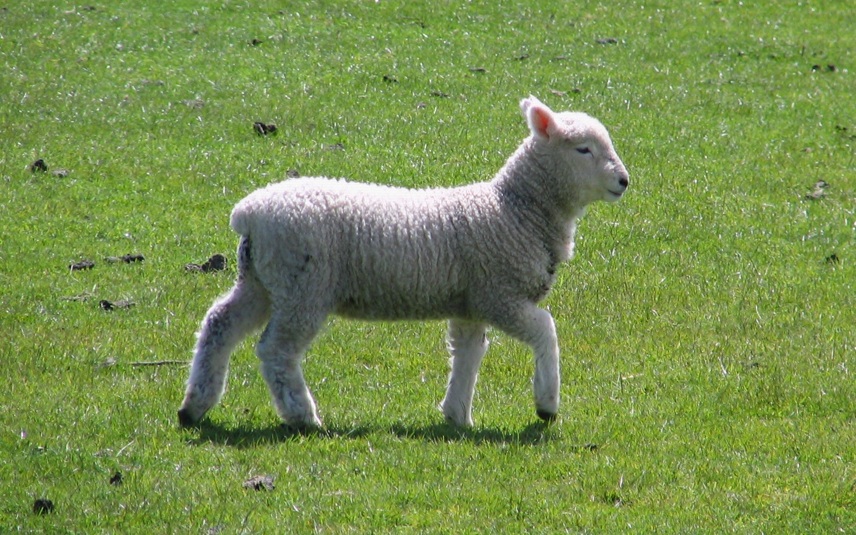 Image result for wikimedia lamb