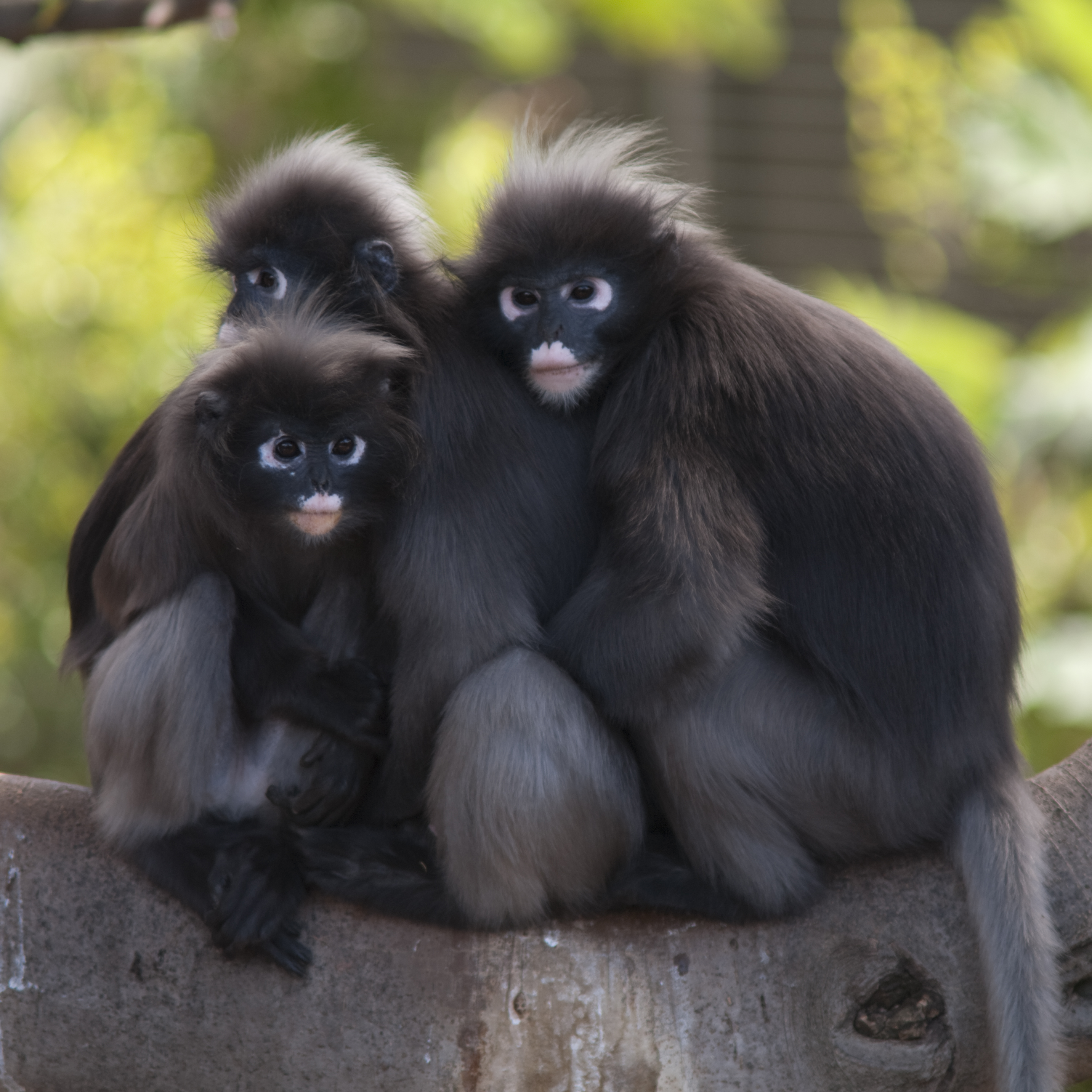 Three hugging monkeys