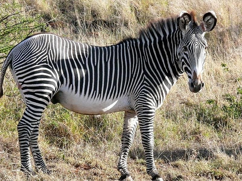 Zebra O Cebra Yahoo Equus grevyi - ...