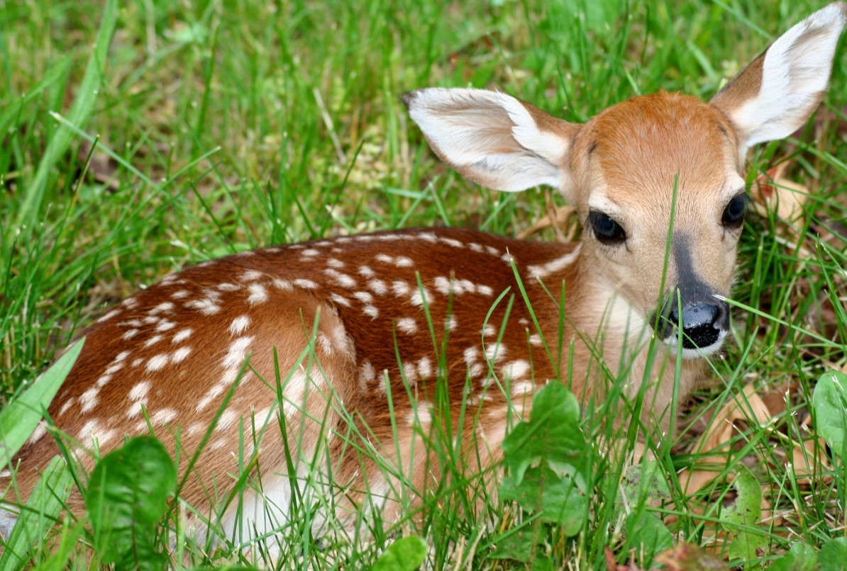 A big-eyed fawn curled up in the grass