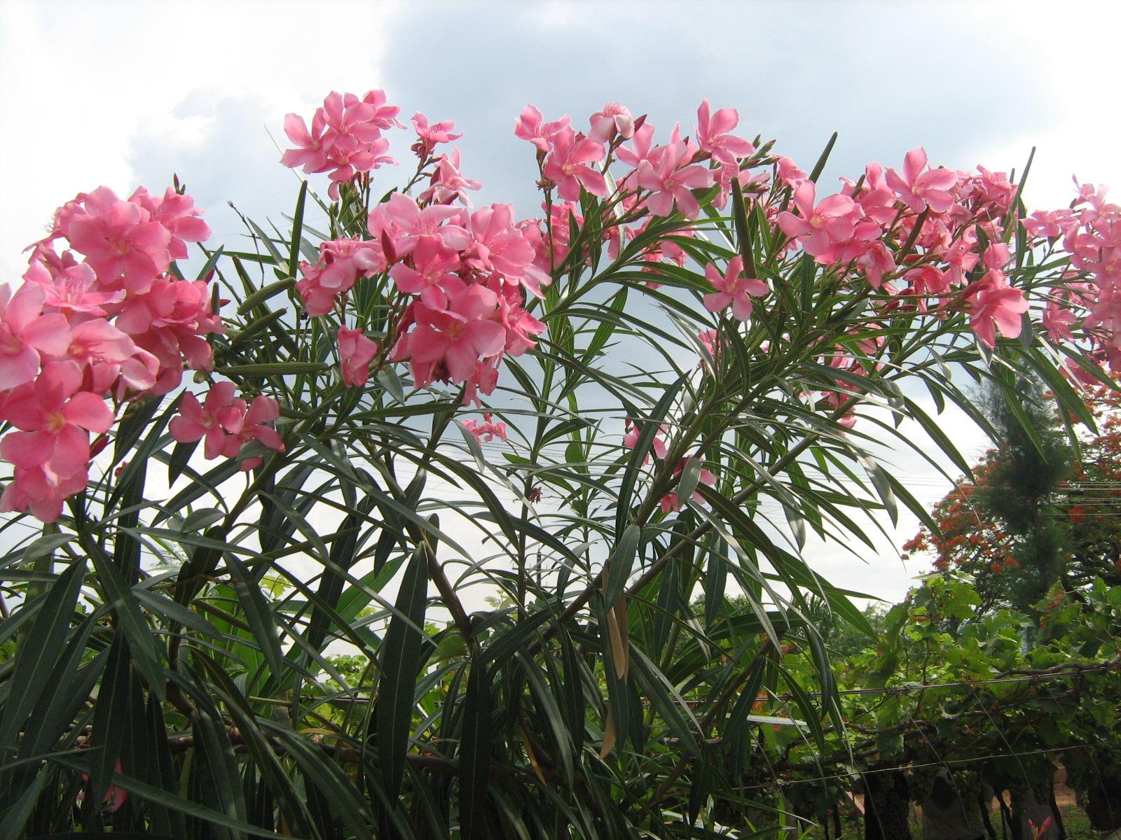 File Flower of Arali Plant Near Cumbum Tamilnadu JPG Wikimedia mons