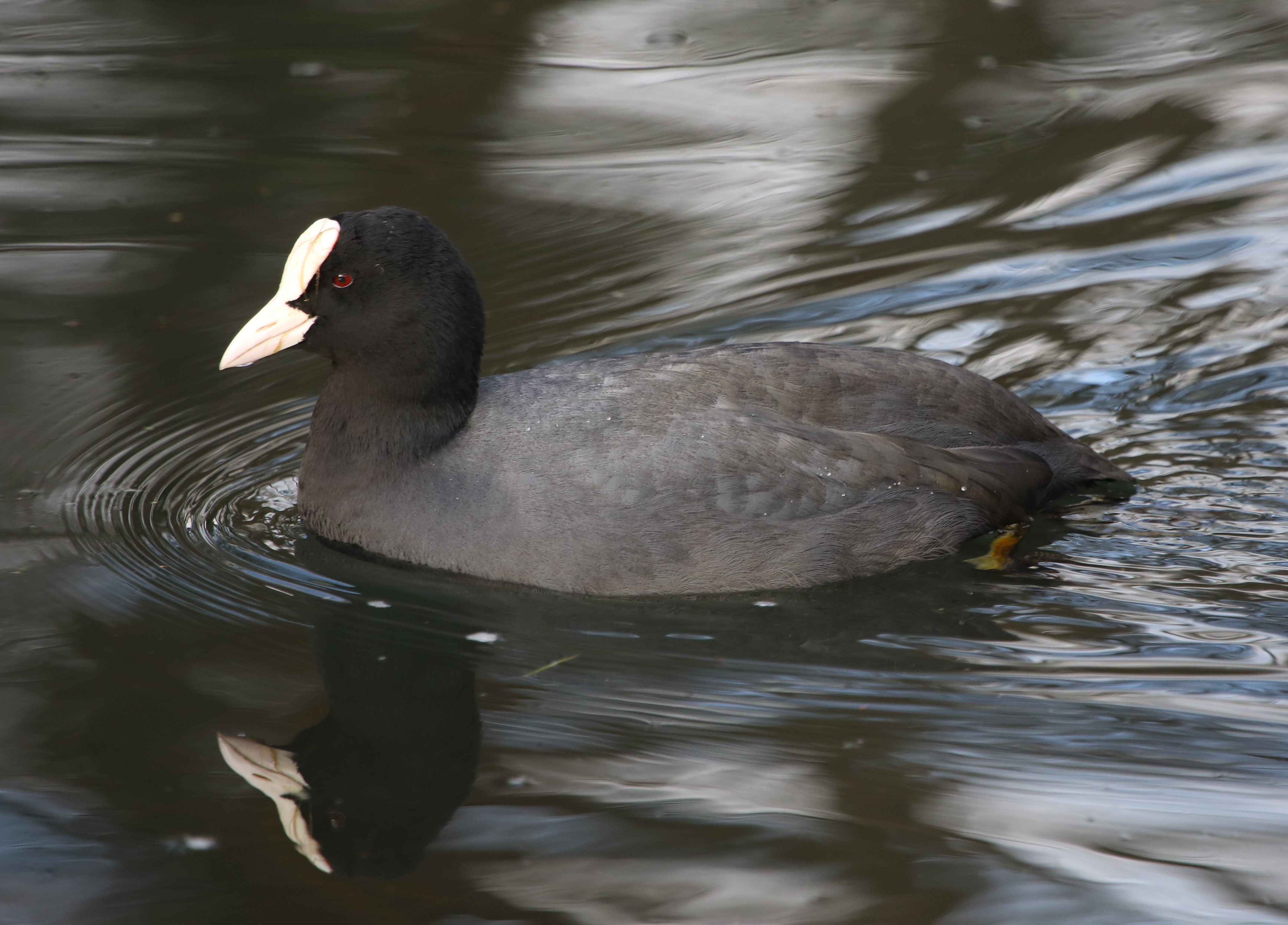 Coots adalah burung air yang agak kecil yang merupakan anggota keluarga rel , Rallidae . Mereka merupakan genus Fulica , nama yang menjadi istilah Latin untuk
