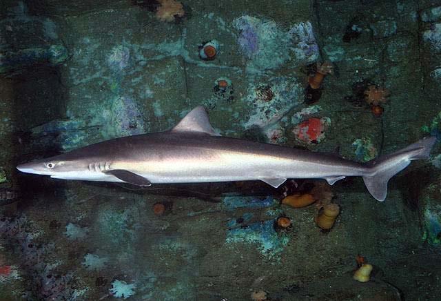 school shark wikipedia