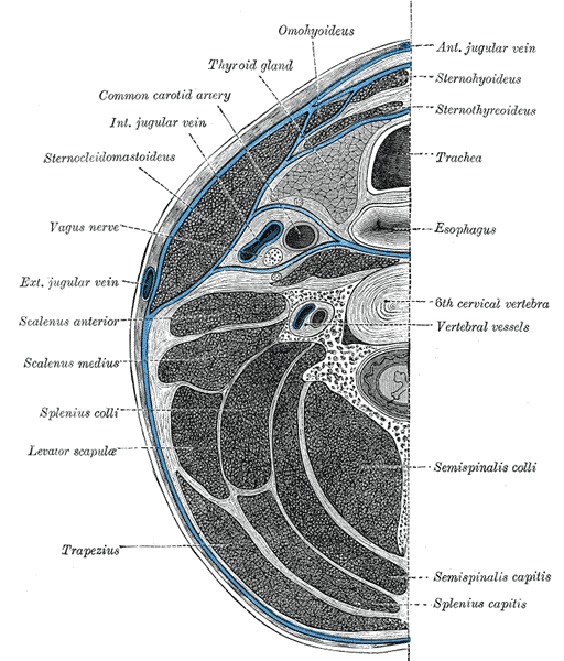 Deep Cervical Fascia Wikipedia