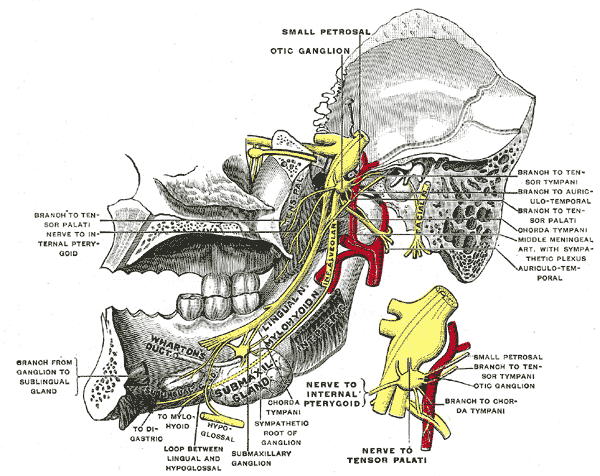 Nervus mandibularis – Wikipedia