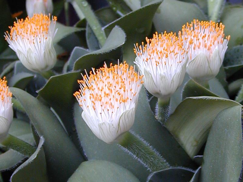 South African evergreen bulbous house plant Haemanthus albiflos.