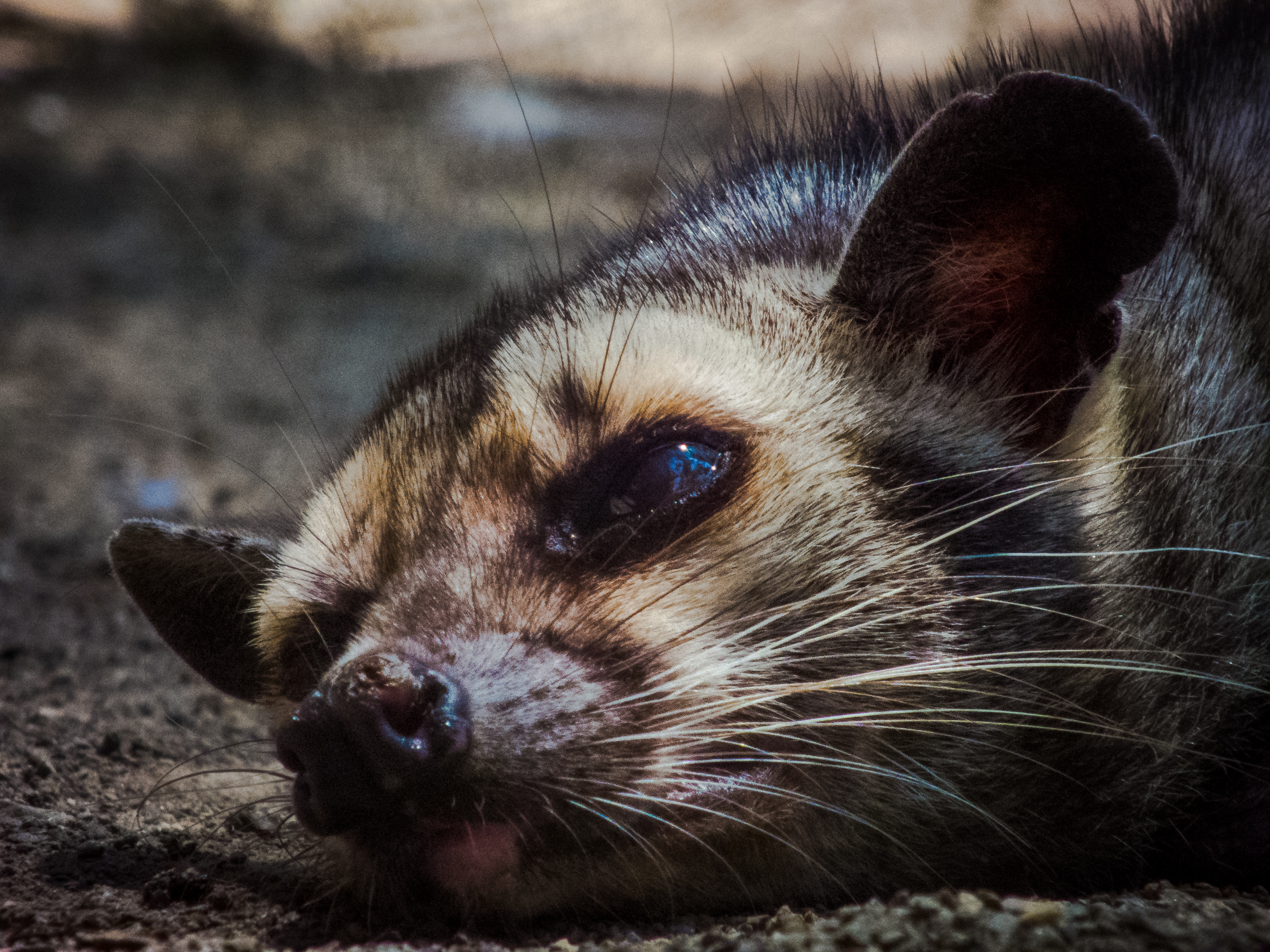 File:Himalayan Palm Civets.jpg - Wikimedia Commons