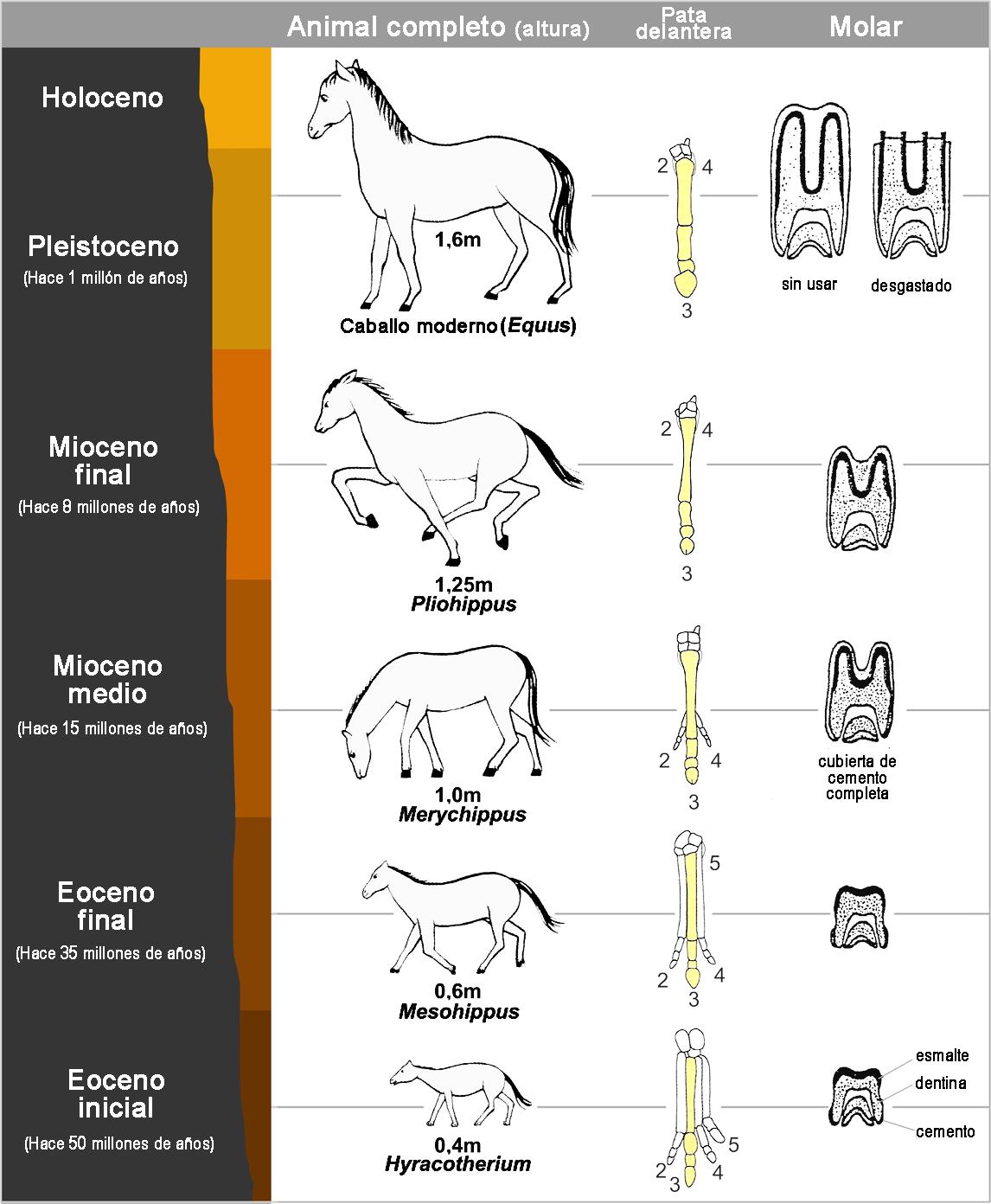 CABALLOS: ANIMALES UNICOS ~ caballos: su anatomia y sus origenes