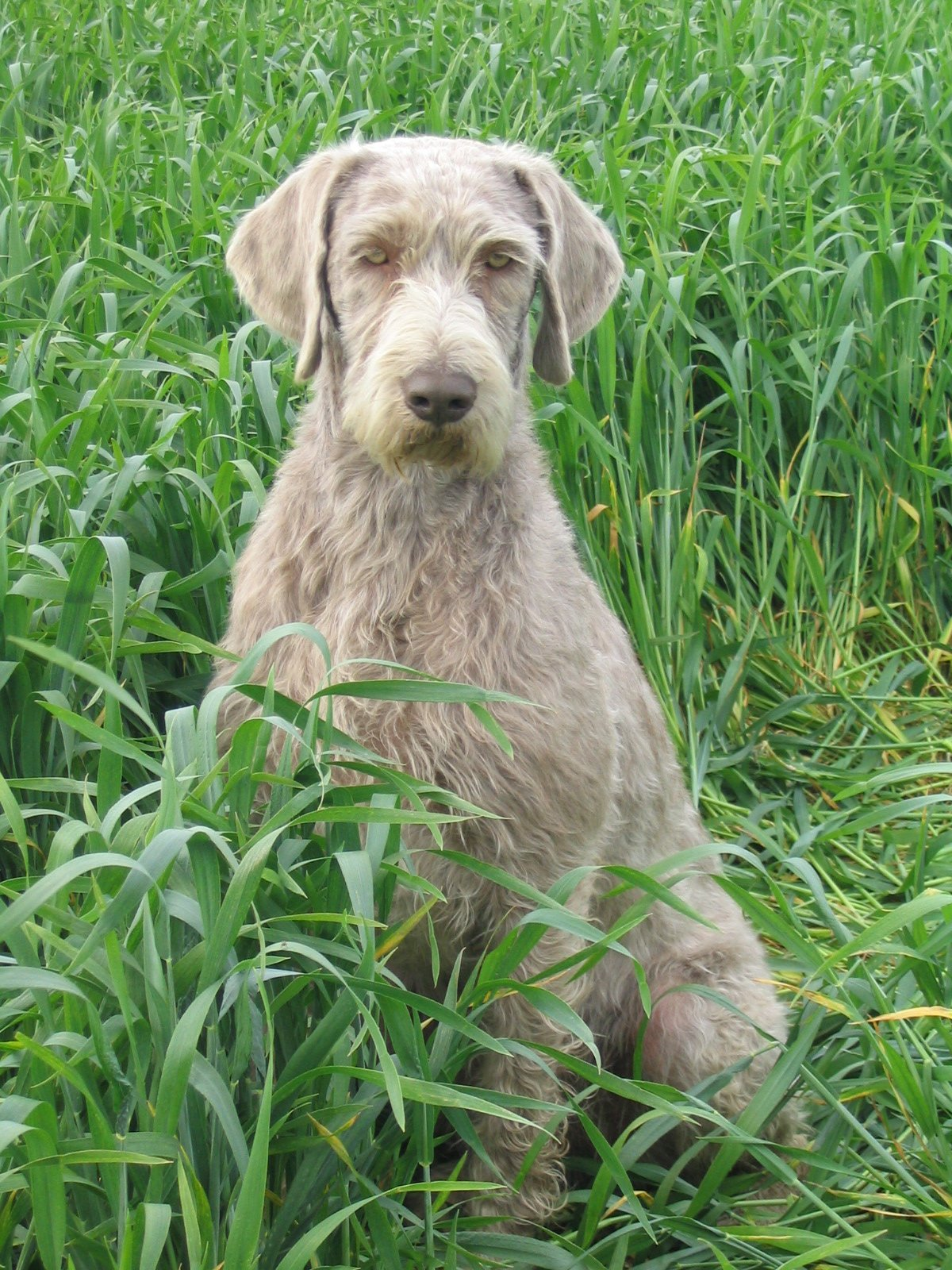 Slovak Rough-haired Pointer - Wikipedia