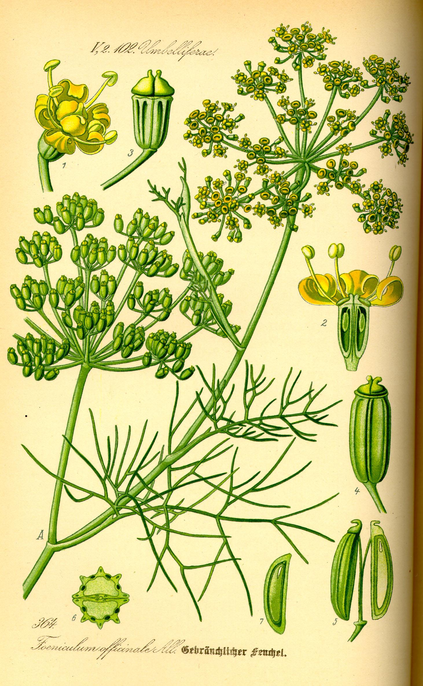 Súbor:illustration foeniculum vulgare0