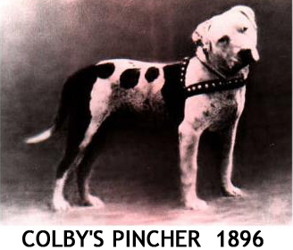 """Description It's said that Colby's Pincher was """"The greatest fighting ..."""