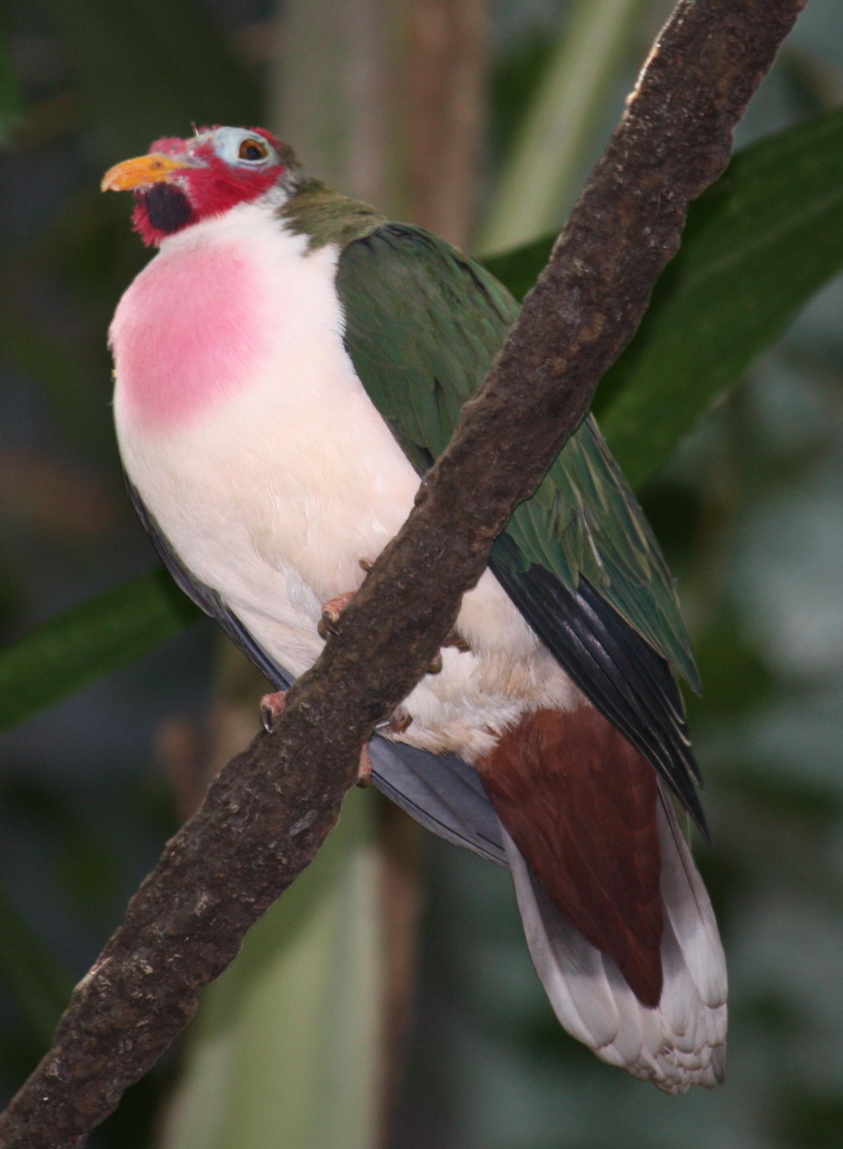 jambu fruit dove flying - photo #25