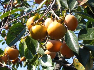 fruit du plaqueminier le kaki