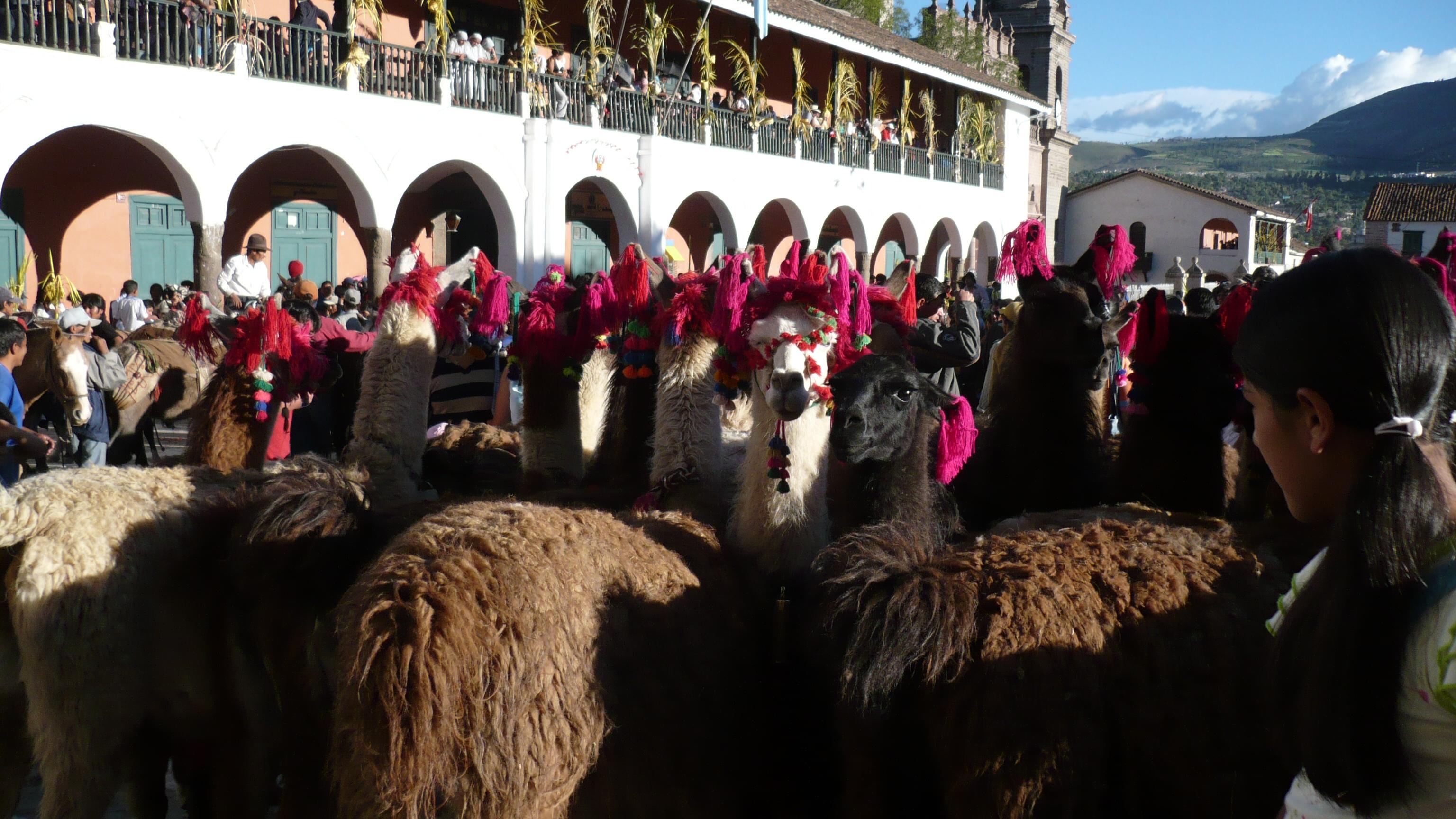 LLamas en Huamanga (2363262984).jpg