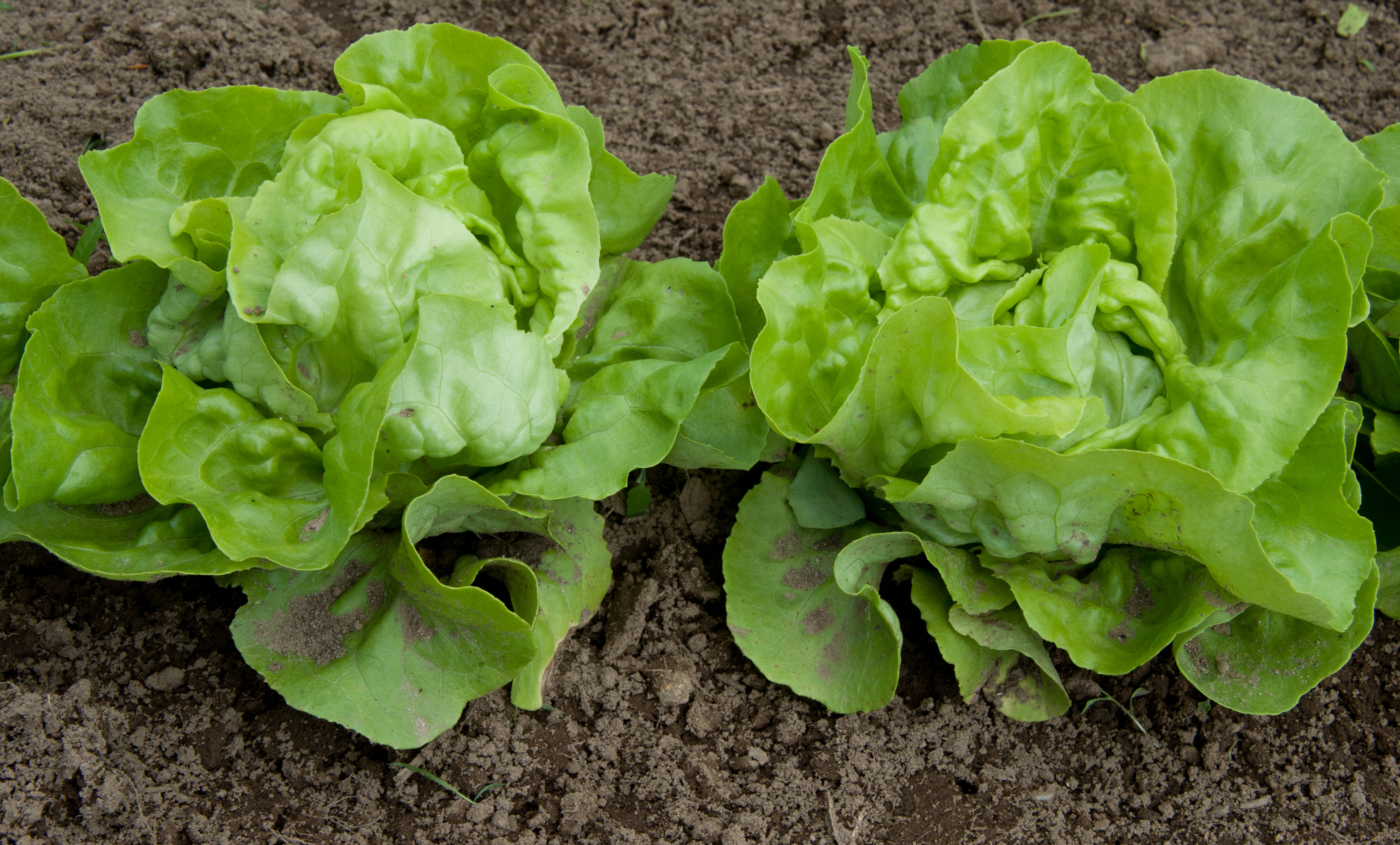 Description Lettuce Mi...