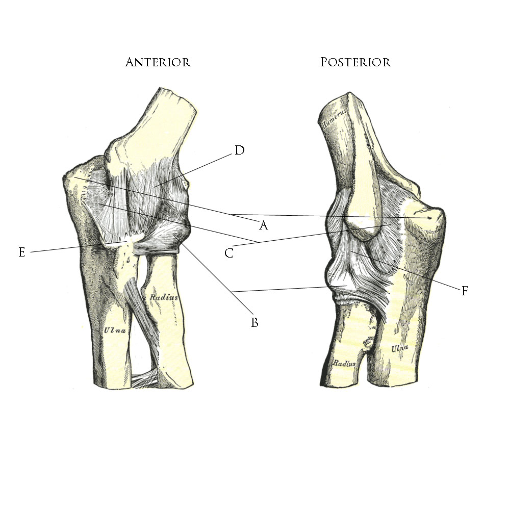 File:Ligaments of the elbow.jpg - Wikimedia Commons