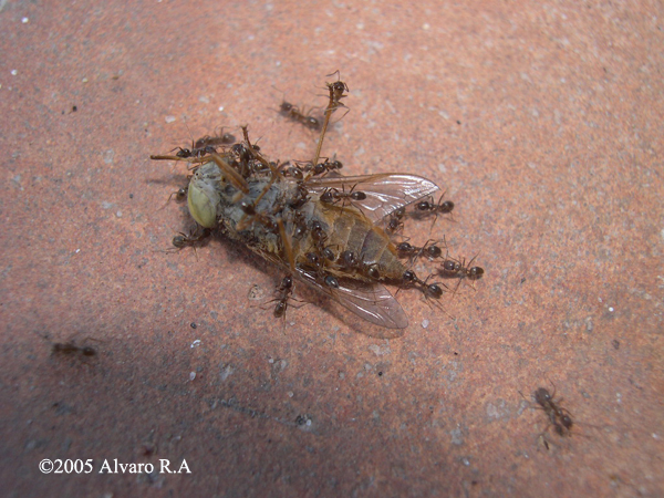 Argentine ants bite - photo#21