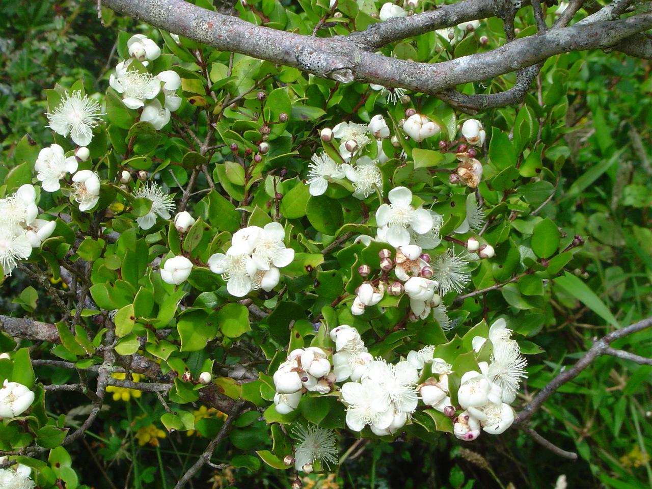 Archivo:Luma apiculata-Arrayán (flor).JPG - Wikipedia, la ...