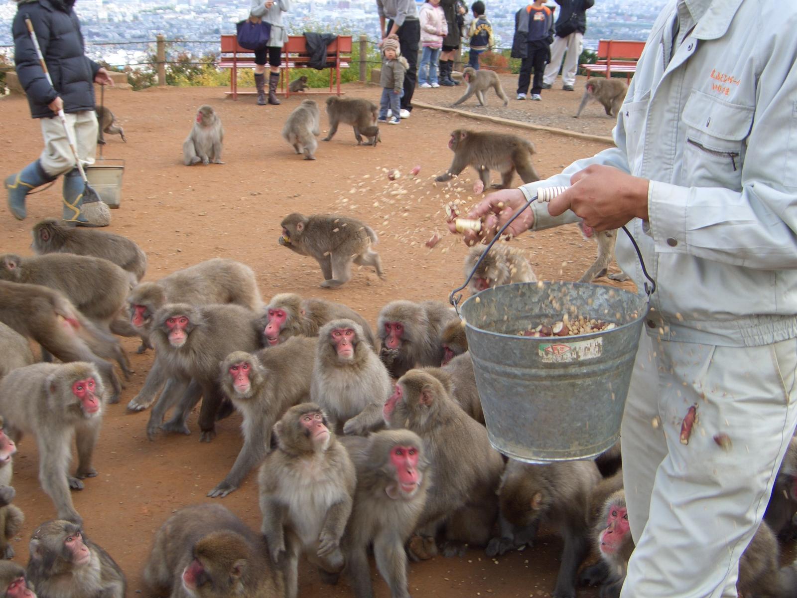 File:Macaca fuscata, feeding time, iwatayama, 20081122.jpg