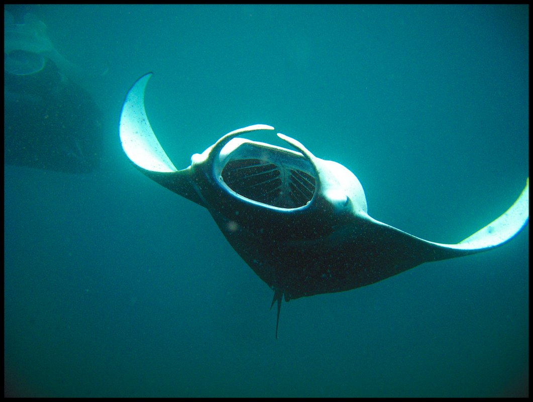 Manta Rays In Big Island By Yourself