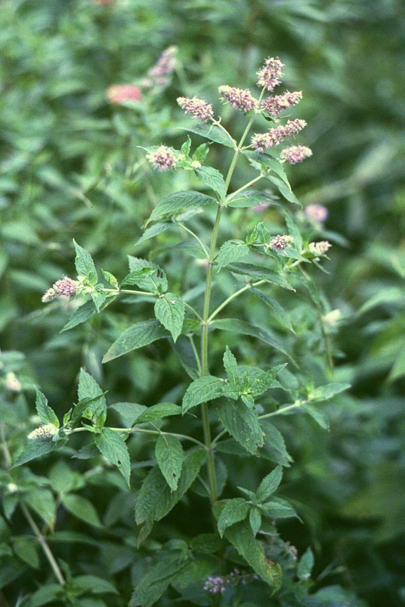 Mentha longifolia - Wikipedia