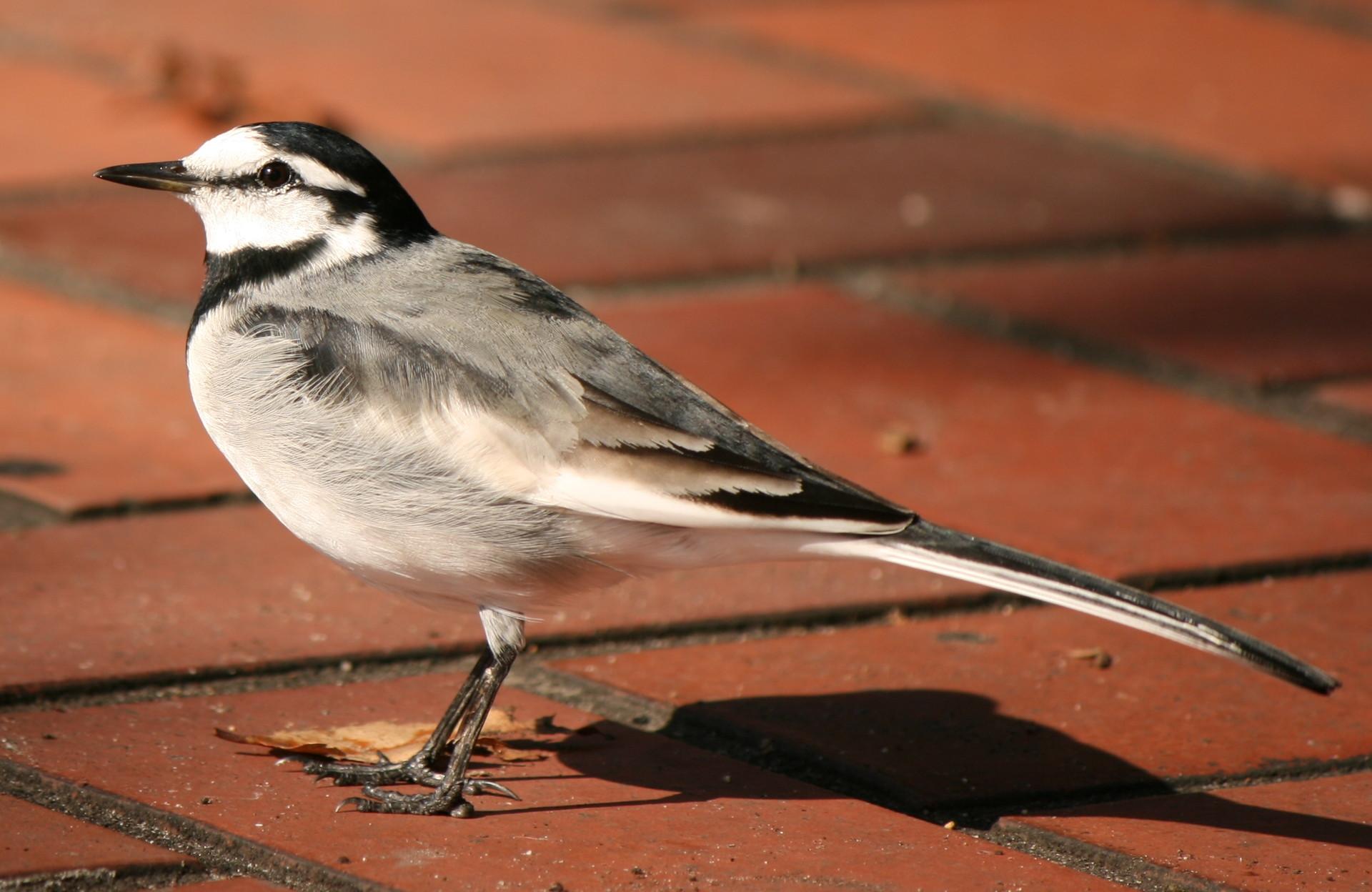 鳴き声 ハクセキレイ ハクセキレイ(野鳥)の生態!鳴き声や育て方等8つのポイント!