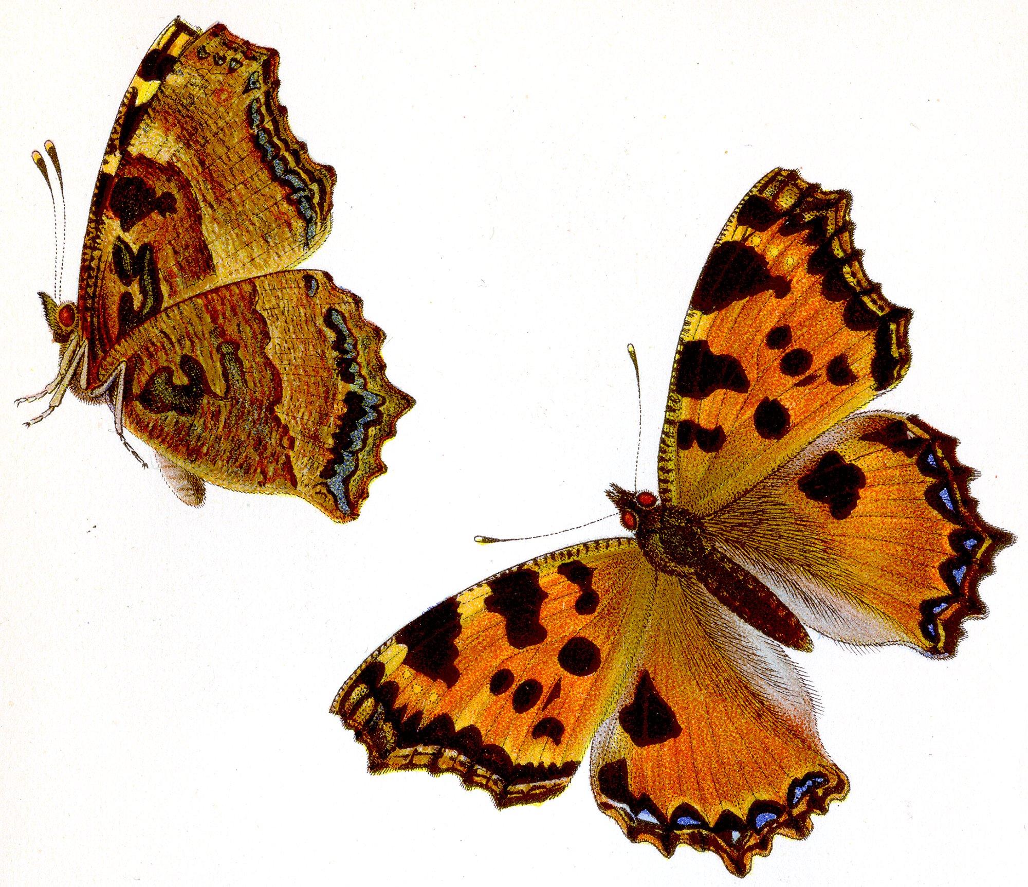 Depiction of Nymphalis polychloros