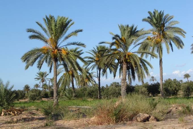 Púštne palmy majú veľmi dlhé korene, aby mohli čerpať spodnú vodu, ktorá je veľmi hlboko