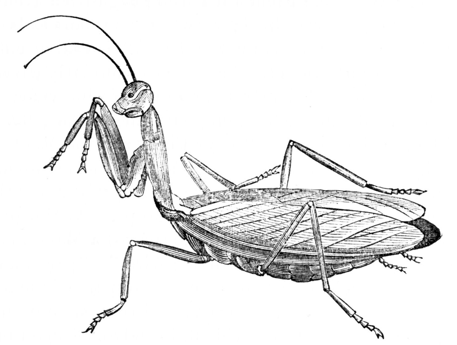 Image Result For Pray Mantis Coloring