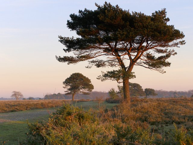 Pine trees on Backley Plain, New Forest - geograph.org.uk - 296729