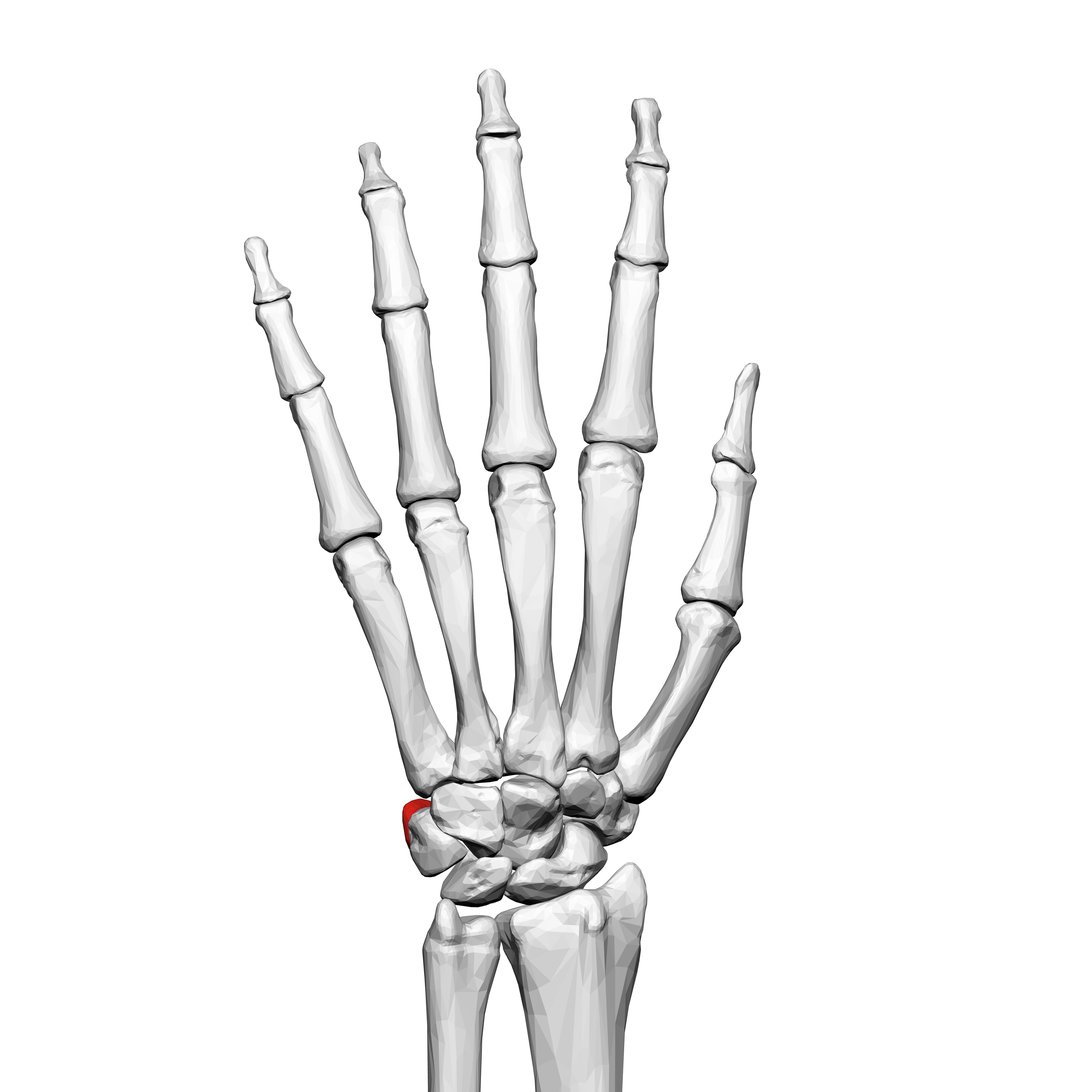 File:Pisiform bone (left hand) 02 dorsal view.png - Wikimedia Commons